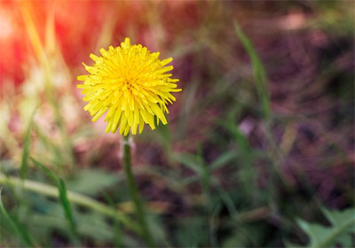 dandelion lower blood pressure