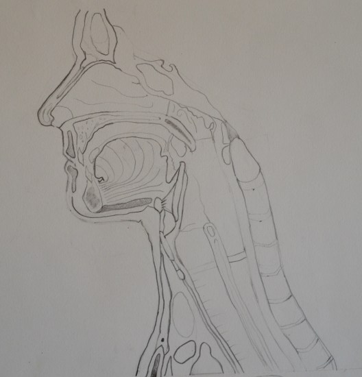 Cross-section of the Head and Neck