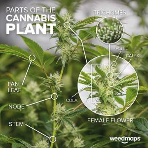 plant parts cannabis