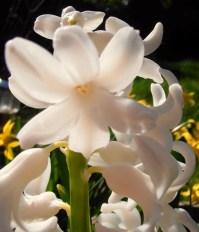 Hyacinth6