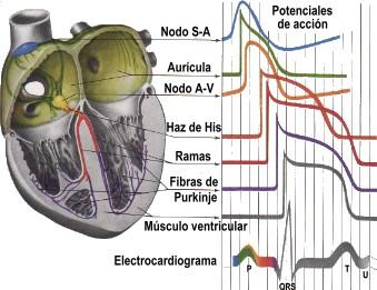ondas-electrocardiograma