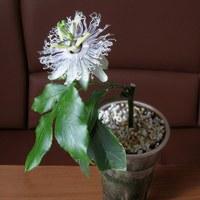 Страстоцвет (пассифлора) - лечебные свойства и применение