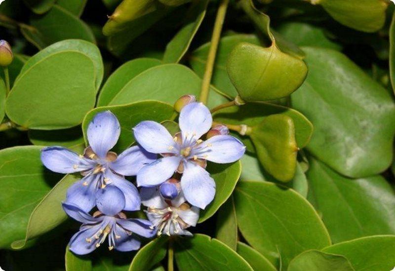 Гваяковое дерево - свойства и применение в народной медицине