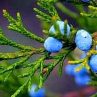 Можжевельник - полезные свойства и применение