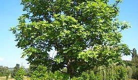 Ясень обыкновенный - выращивание и применение полезных
