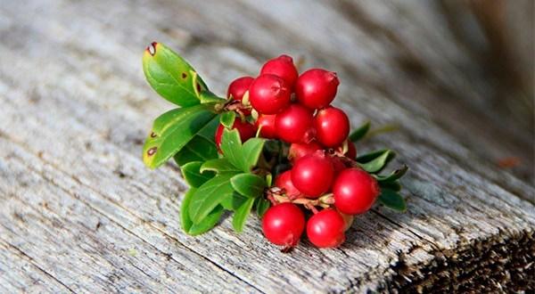 Брусника - полезные свойства и применение в народной медицине