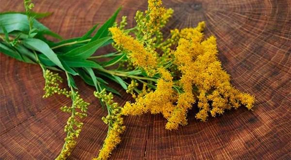Золотая розга - состав, полезные свойства и применение