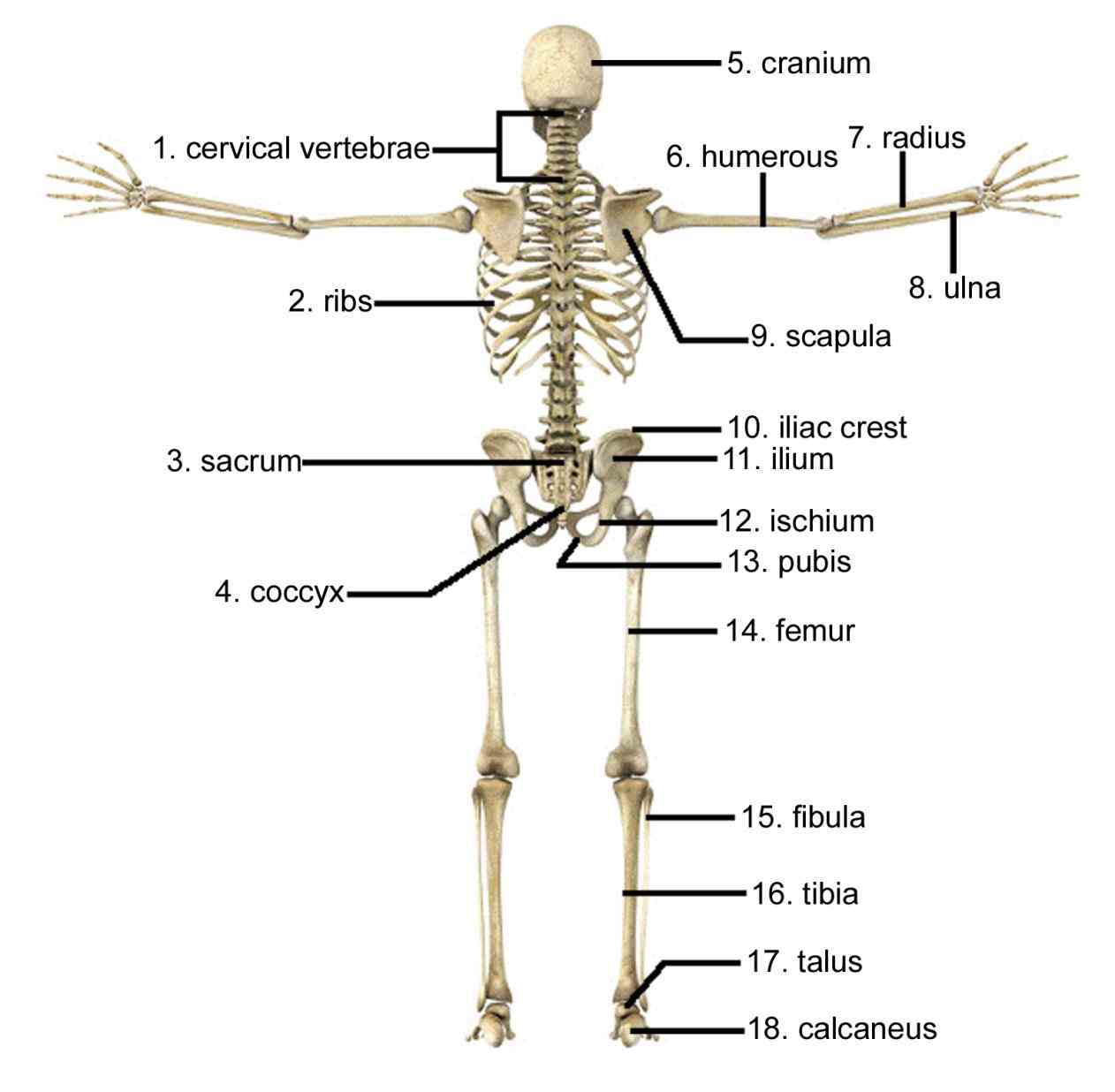 Cells Of The Skeletal System