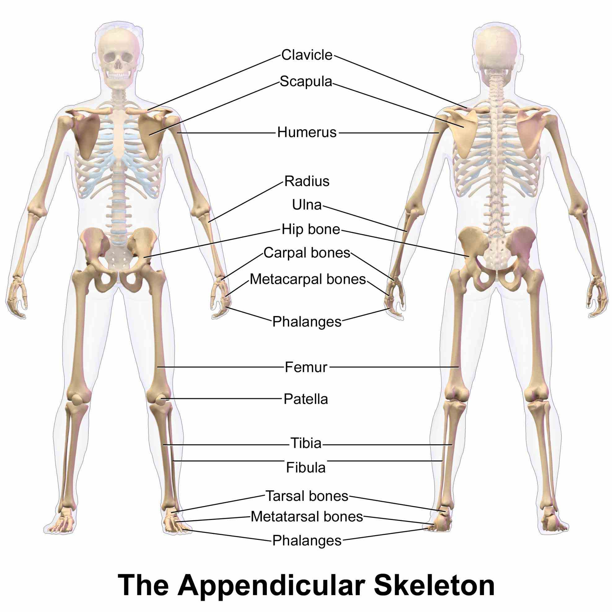 Anatomy Of Appendicular Skeleton Bones