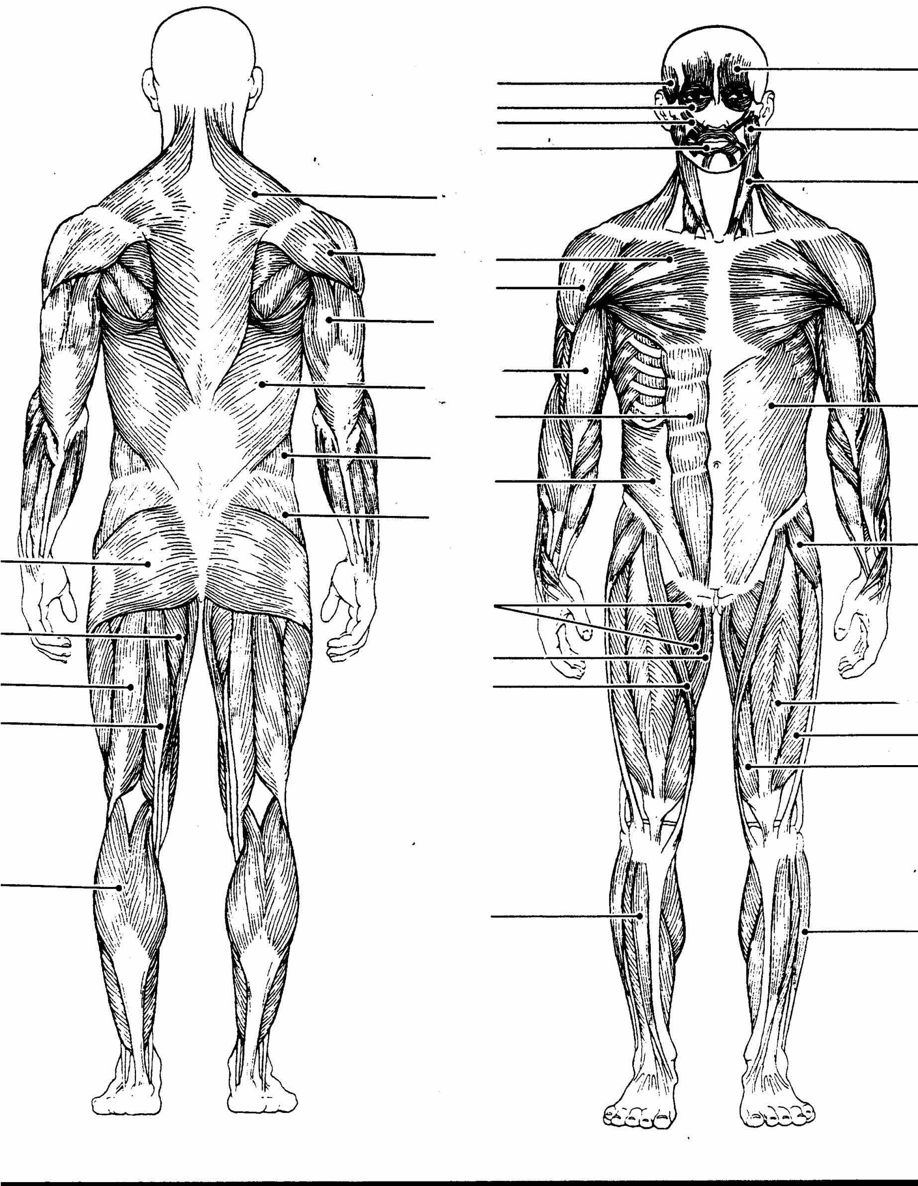 Major Muscles Of The Body Diagram