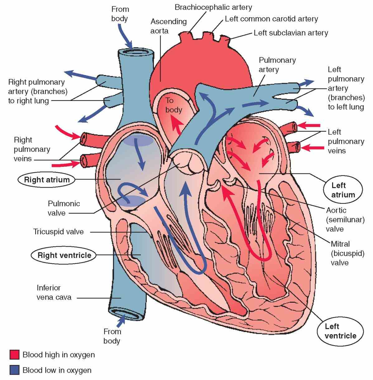 Parts Of The Human Heart And Their Functions