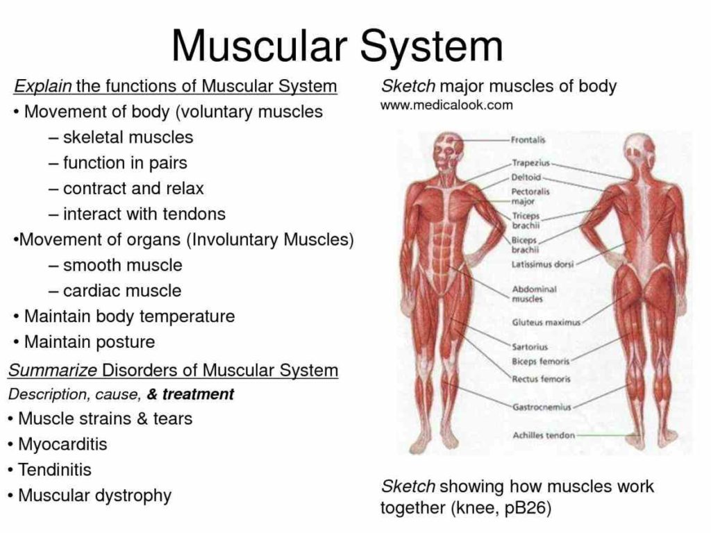 Parts Of The Muscular System Muscles Body Are Divided Into