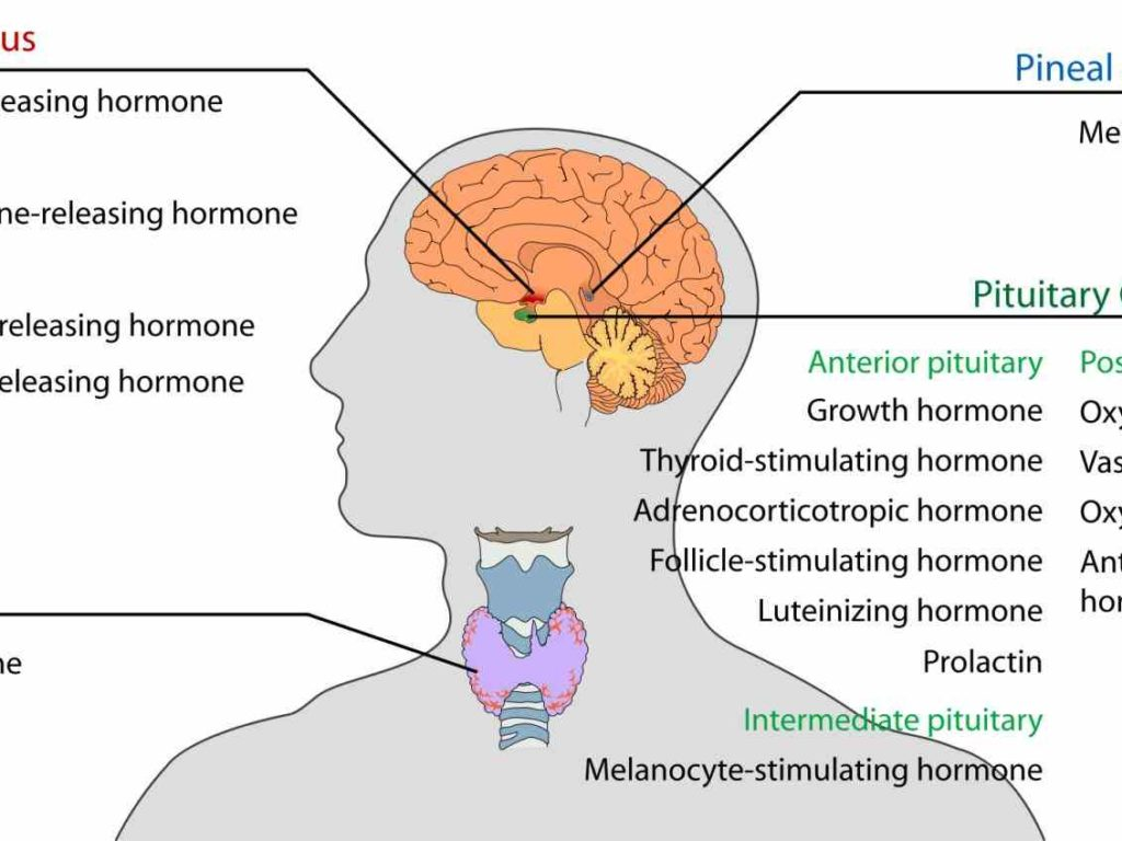 These Endocrine System Functions And Parts Lessons On The