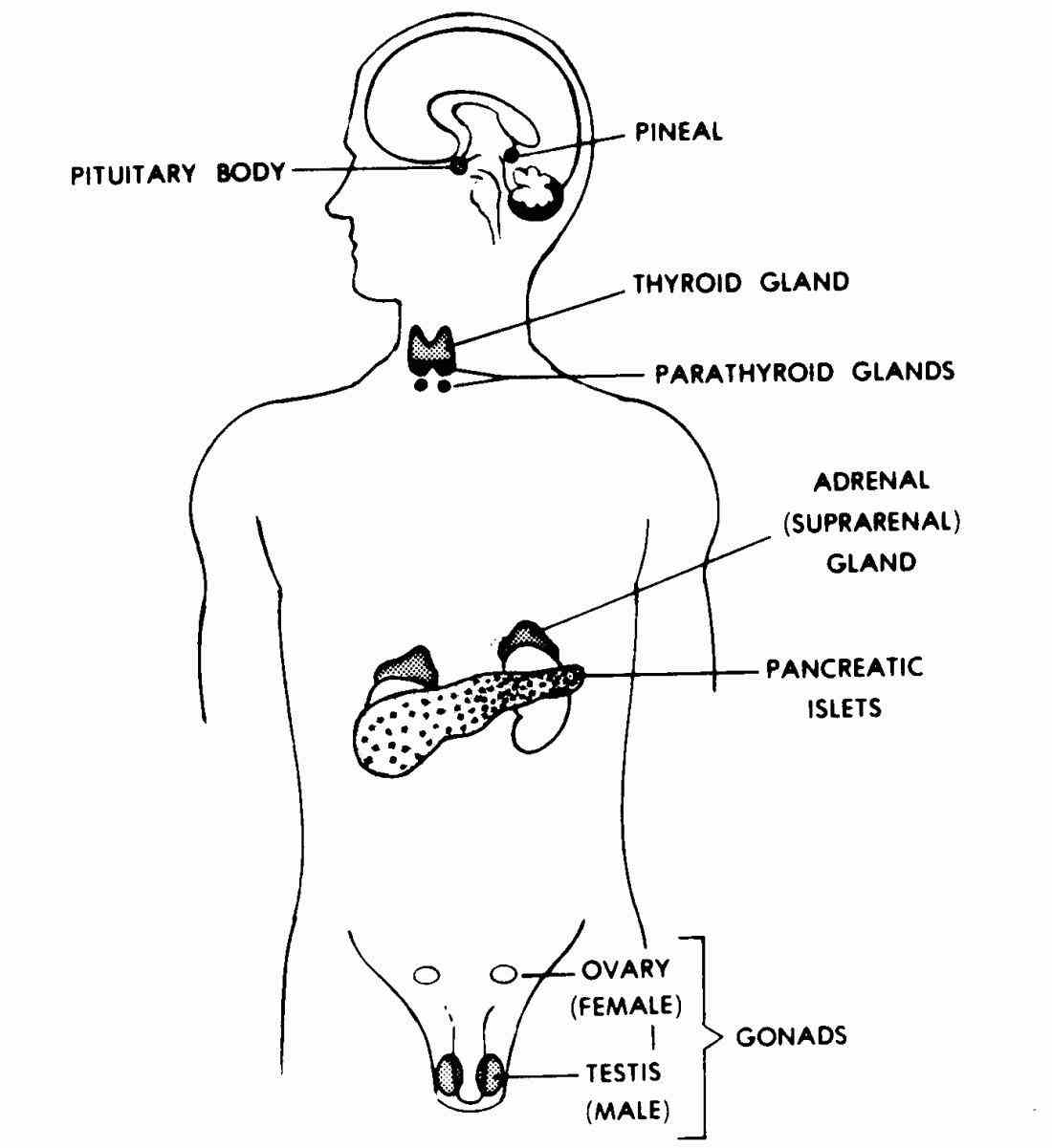 Glands In The Body And Their Functions
