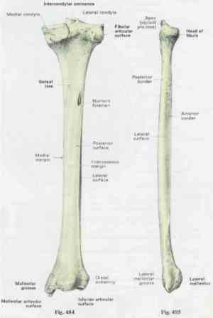 Anatomy Tibia And Fibula Diagram | MedicineBTG
