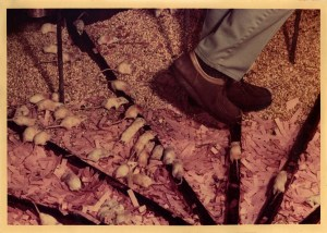 About three dozen white mice cluster behind the brown-shoe-clad feet of a person walking through the enclosure.
