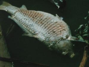 Dead white fish in water