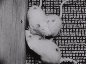 Three rats climbing on top of each other