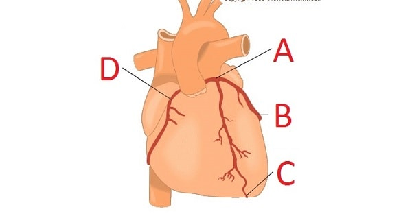 Heart-arterial supply, nerve supply, veins of heart