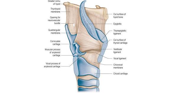 Epiglottis Larynx