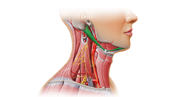 SUPRAHYOID MUSCLES