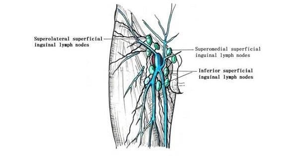 Inguinal lymph node - www medicoapps org