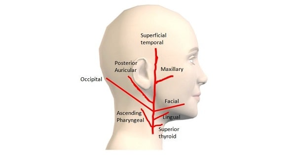 Important Facts About Osteology Of Head & Neck