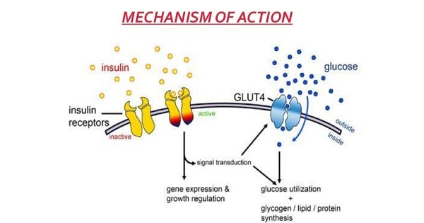 Insulin - Metabolic Actions