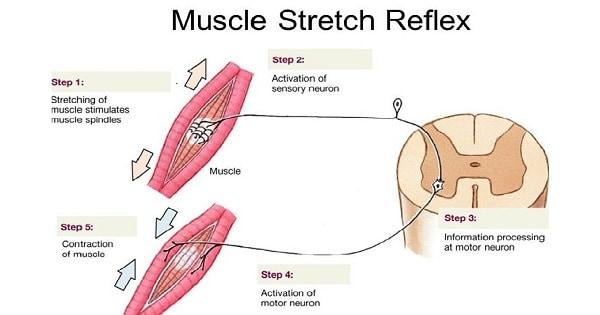 [Resim: Stretch-Reflex.jpg?resize=600%2C315&ssl=1]