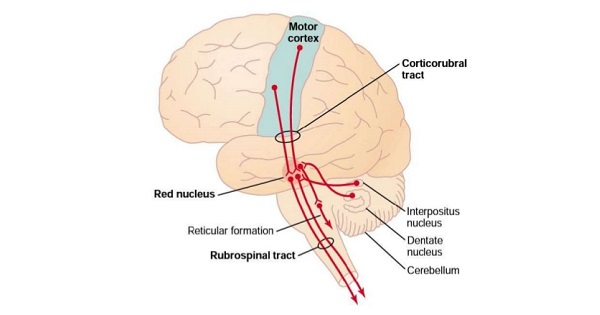Motor Cortex - www.medicoapps.org