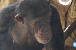 Chimpanzees, such as this one at the Lincoln Park Zoo, are part of the Species Survival Plan. Thirty-four zoos across the U.S. take part, planning to ensure healthy populations of chimpanzees in zoos and the wild for years to come.