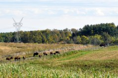 """If you build it, they will come,"" goes the phrase from the 1989 movie, ""Field of Dreams."" And the bison have already come – 30 arrived to the Nachusa Grasslands throughout the month of October."