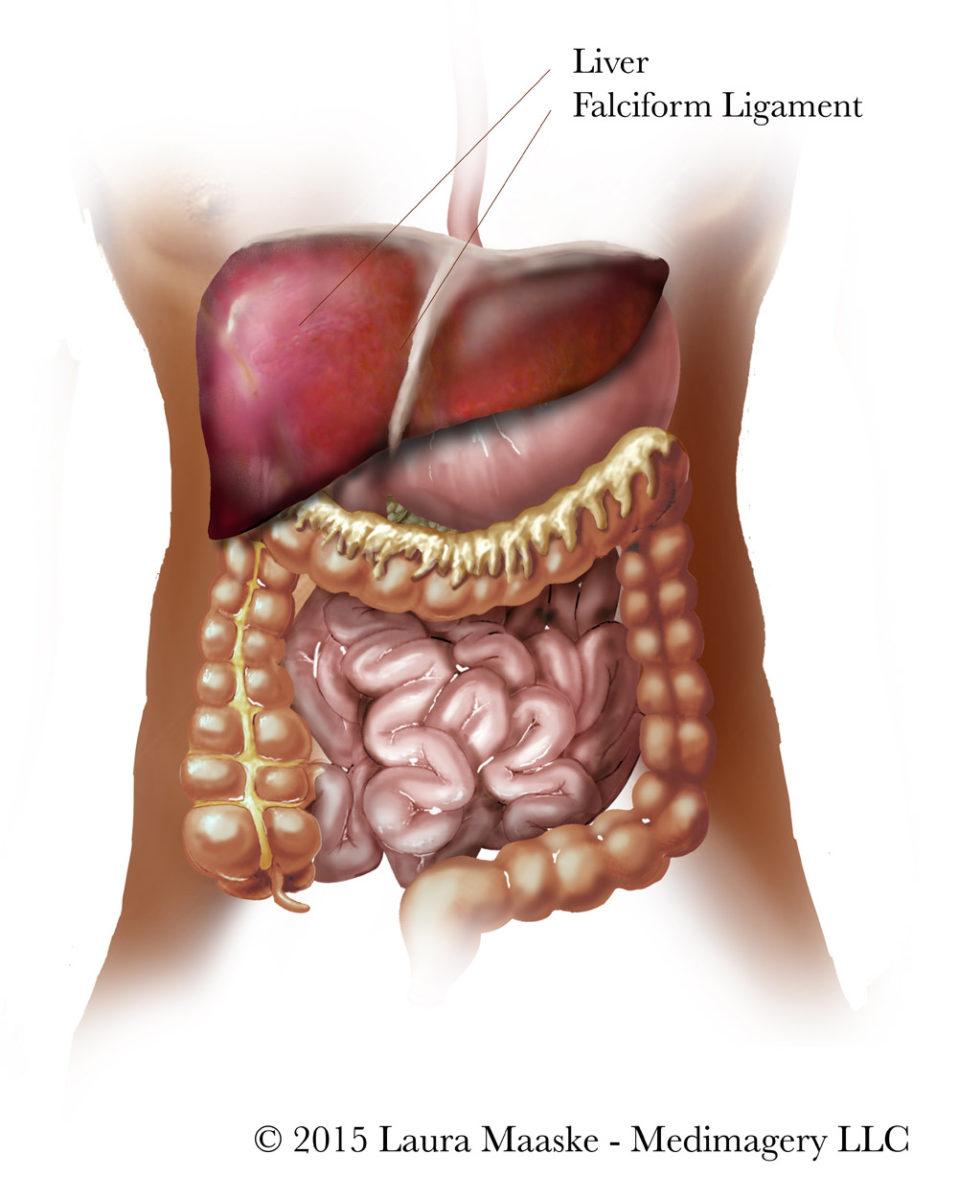 Medical Illustrations Of Abdominal Organs Digestive System