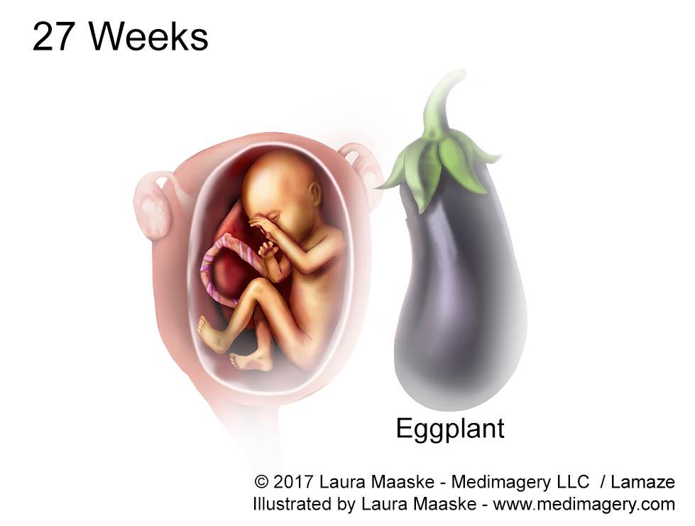 Human Embryo & Fetal Development- Fetus Illustration Size