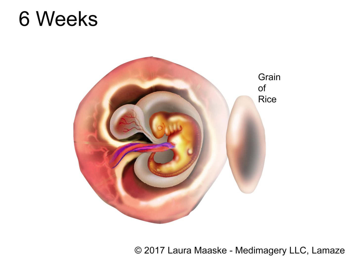 6-weeks-fetus-rice-medical-illustration-copyrighted-material
