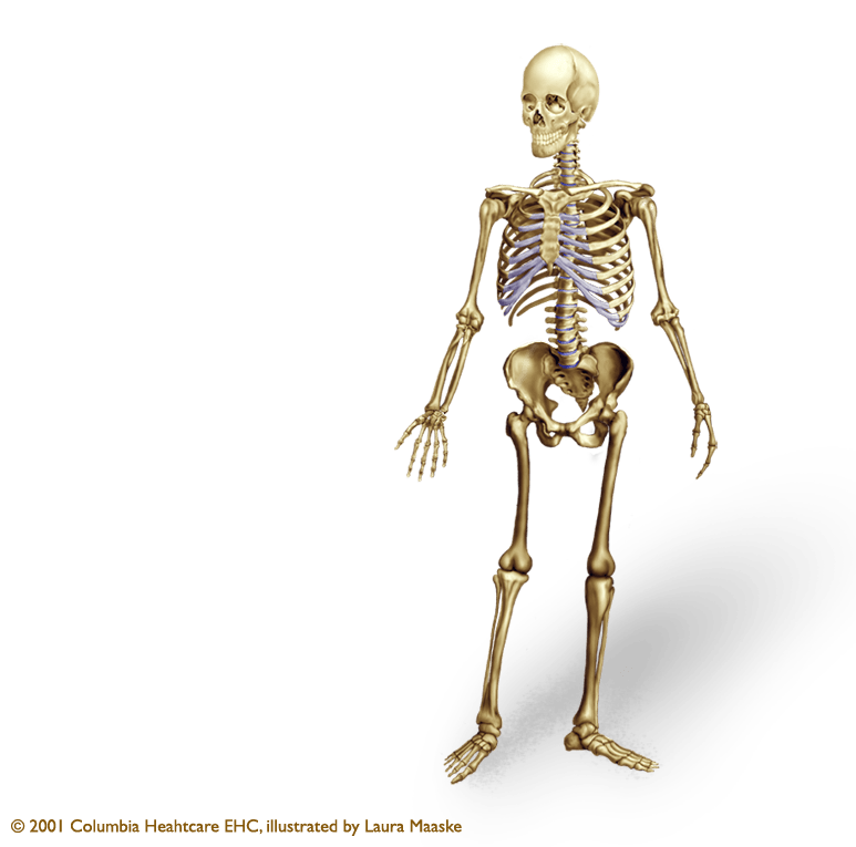 Human Skeleton Illustration Axial Appendicular Bones Ribcage Skull