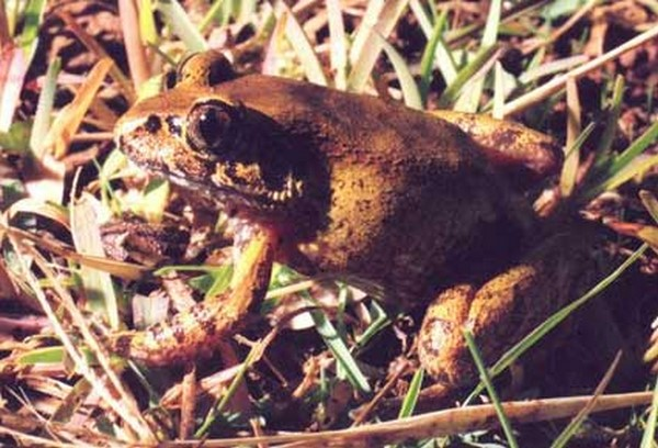 Astylosternus nganhanus b