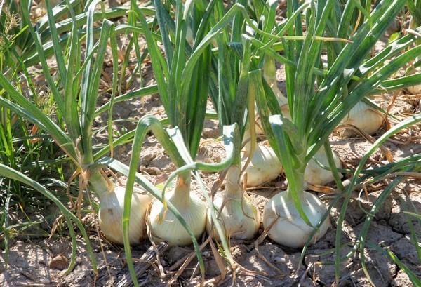 Cómo plantar cebollas. Ficha completa d