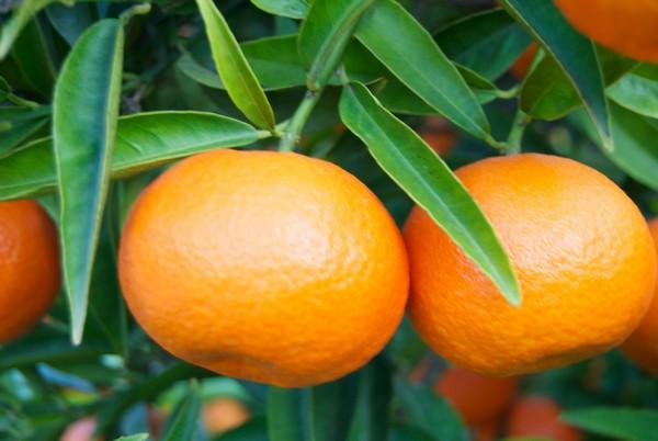 Cómo plantar mandarinas. Ficha completa d