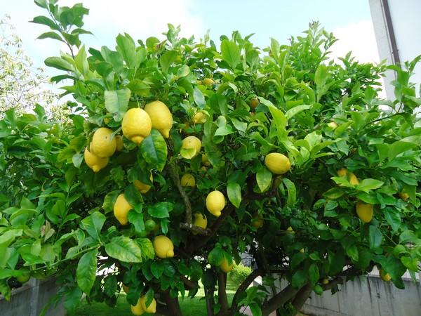 Cómo plantar limones. Ficha completa d
