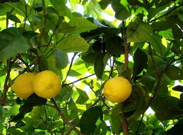 Cómo plantar limones. Ficha completa h