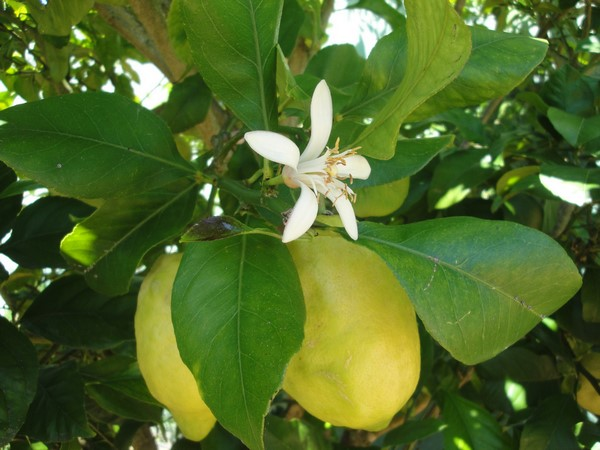 Cómo plantar limones. Ficha completa i
