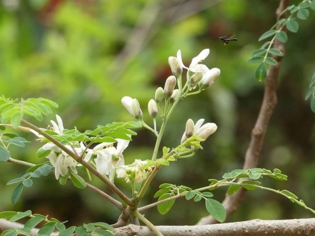 La moringa, los beneficios del remedio natural que se populariza a nivel mundial