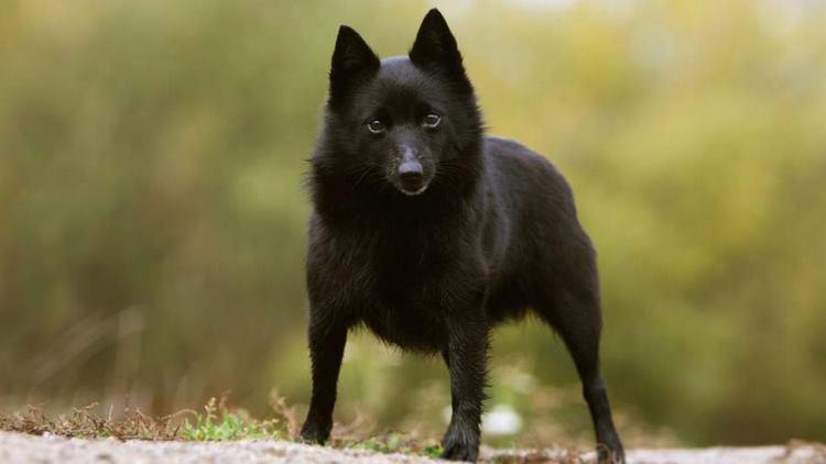 Cuáles son las mejores razas de perros de compañía