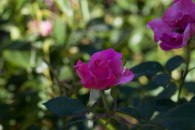 Roses and Flowers Hastings East Sussex 2017 July 09, 2017 IMG_9678