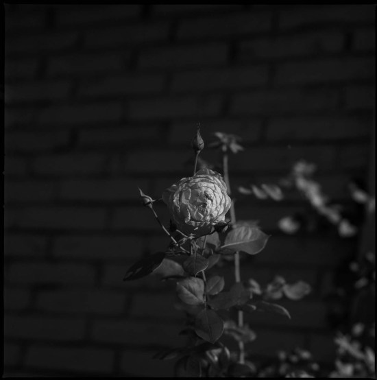 A rose from my garden, Hasselblad 500cm Ilford sfx 200 Thomas Hooper Tattooing