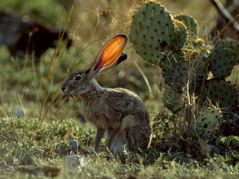 Animals - CHAPARRAL BIOME