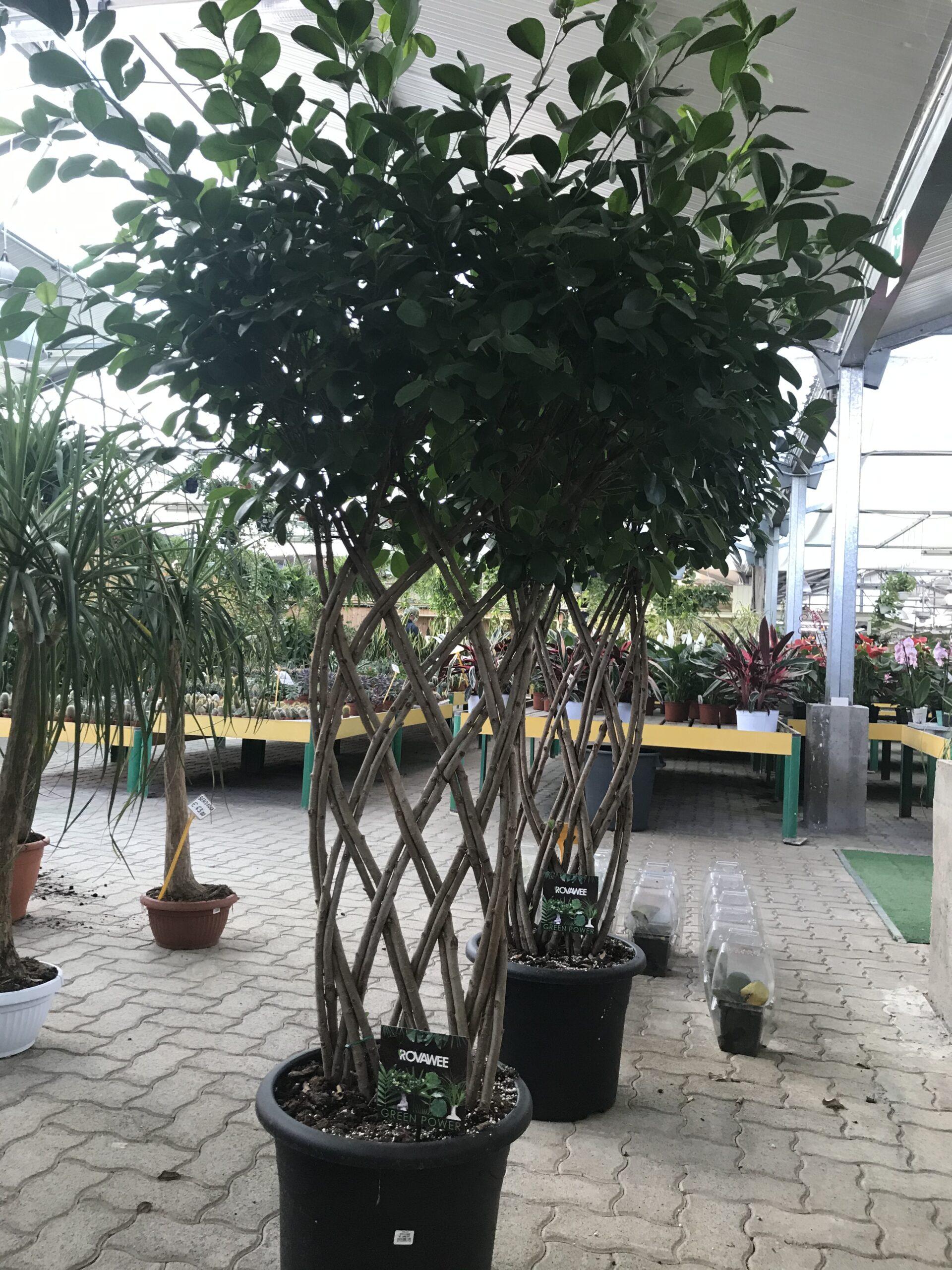 Cura Del Ficus Benjamin ficus moclame intrecciato