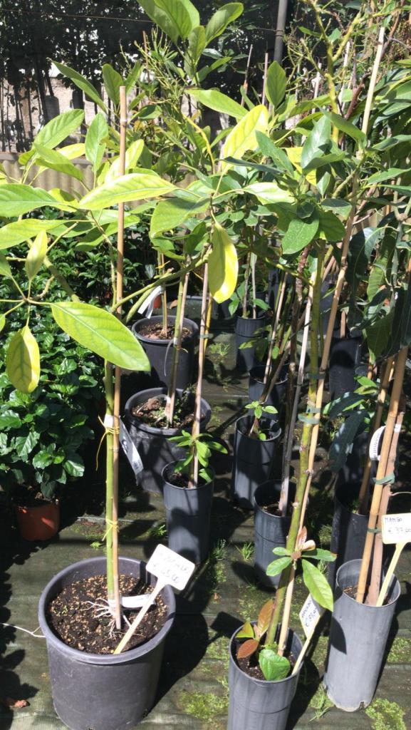 Le nostre rigogliose e sane piante di avocado.