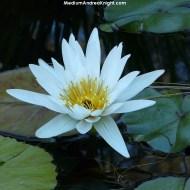sd lotus